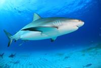 カリビアンリーフシャークと美しい海 25356001891| 写真素材・ストックフォト・画像・イラスト素材|アマナイメージズ