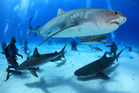 タイガーシャーク,サメの群れとダイバー 25356001900| 写真素材・ストックフォト・画像・イラスト素材|アマナイメージズ