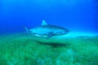 タイガーシャークと美しい海 25356001902| 写真素材・ストックフォト・画像・イラスト素材|アマナイメージズ