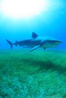 タイガーシャークと光差し込む美しい海 25356001909| 写真素材・ストックフォト・画像・イラスト素材|アマナイメージズ