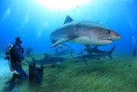 タイガーシャークに餌付けするダイバー 25356001919| 写真素材・ストックフォト・画像・イラスト素材|アマナイメージズ