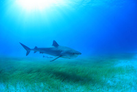 タイガーシャークと光差し込む美しい海 25356001922| 写真素材・ストックフォト・画像・イラスト素材|アマナイメージズ