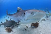 タイガーシャークと美しい海 25356001934| 写真素材・ストックフォト・画像・イラスト素材|アマナイメージズ