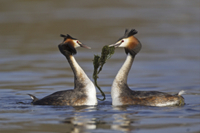 Great Crested Grebe (Podiceps cristatus) adult pair, with we 32259000509| 写真素材・ストックフォト・画像・イラスト素材|アマナイメージズ