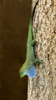 Grand Cayman Blue-throated Anole (Norops conspersus) adult m 32259002175| 写真素材・ストックフォト・画像・イラスト素材|アマナイメージズ