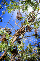Little red flying foxes  (Pteropus scapulatus),  roosting.   32273000834| 写真素材・ストックフォト・画像・イラスト素材|アマナイメージズ