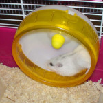 Djungarian_Hamster_Pearl_White_run_wheel