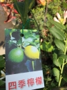 四季檸檬 3