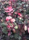彩葉山漆莖
