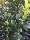 金柳,小葉黃楊