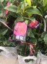 茶花樹,九曲,天香,海倫包爾