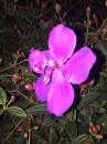 紫牡丹 1