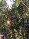 各種類品種樹葡萄