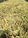 澳古斯丁草 2