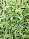 巴西地毯草 草皮