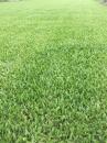 巴西地毯草(草皮)