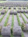 各種類草皮,巴西地毯草