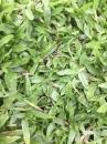 地毯草,草皮