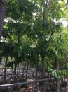 大花紫薇(樹)