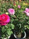 玫瑰花 批發
