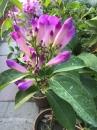 紫羅蘭 蒜香藤