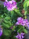 蒜香藤(紫羅蘭)