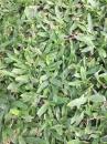 巴西地毯草,地毯草