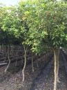 桂花樹,四季香水桂花樹