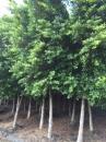 榕樹,日本垂榕,黃金榕