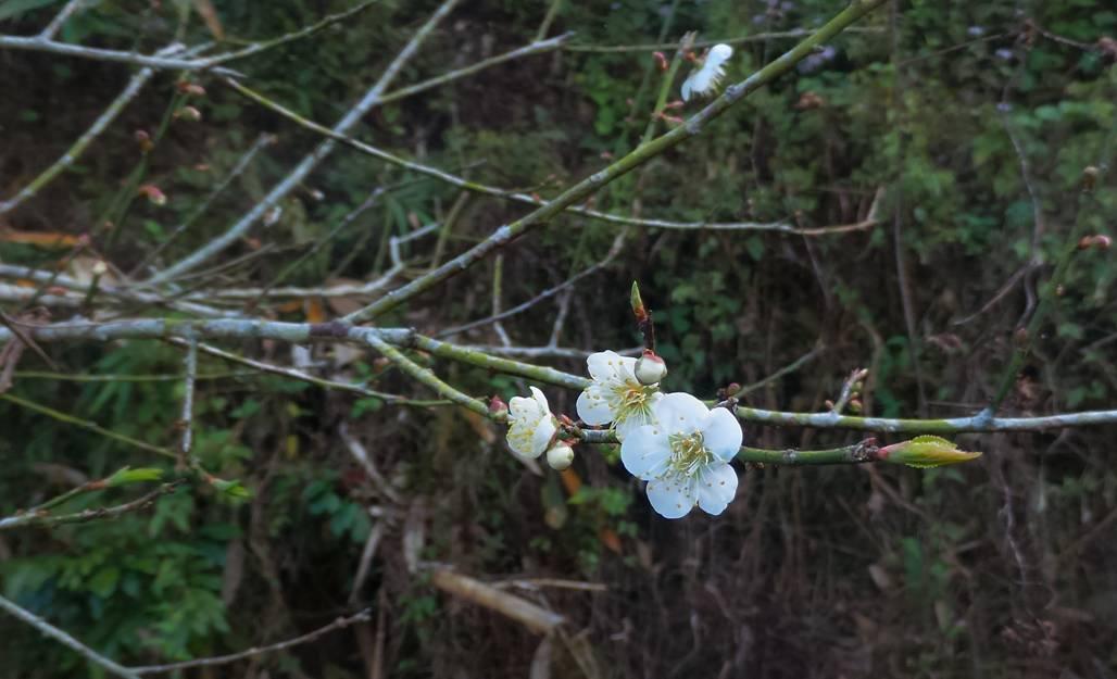 盛開中的梅花
