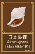 日本鼓螺.jpg