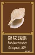 銼紋鶉螺.jpg