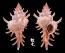 薔薇千手螺 Chicoreus rossiteri 1