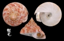 紅翁戎螺 Pleurotomaria hirasei 2