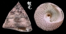 花斑鐘螺 Trochus maculatus 1
