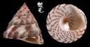 花斑鐘螺 Trochus maculatus 2