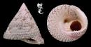 細紋鐘螺 Trochus hanleyanus 2