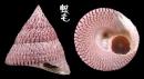 細紋鐘螺 Trochus hanleyanus 3