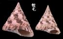 紅斑鐘螺 Trochus conus 2