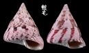 紅斑鐘螺 Trochus conus 4