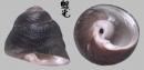 臍孔黑鐘螺 Omphalius nigerrima 1