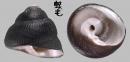 臍孔黑鐘螺 Omphalius nigerrima 2