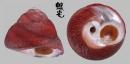 臍孔黑鐘螺 Omphalius nigerrima 3