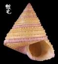 紫金鐘螺 Calliostoma annulatum 1