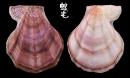 北海道海扇蛤 Swiftopecten swiftii 1