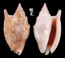 紅袖鳳凰螺 Strombus bulla 2