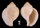 梨形鶉螺 Eudolium pyriforme