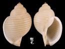 銼紋鶉螺 Eudolium lineatum