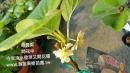 奇異果苗…開花
