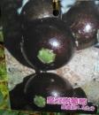 皇冠樹葡萄